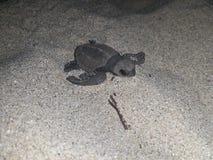 Het broedsel van de babyzeeschildpad Stock Foto's