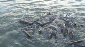 Het brood om de vissen in de rivier van nature te voeden Er zijn vele vissen door elkaar gooit om in Bangkok in Thailand te eten stock video