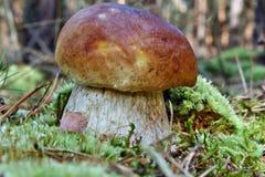 Het brood van de eekhoorn in bos Stock Foto's