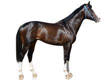 Het bruin solored de tribune van het sportpaard op witte achtergrond wordt geïsoleerd die Stock Fotografie