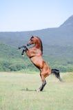 Het bruine Arabische paard grootbrengen op weiland Royalty-vrije Stock Afbeeldingen