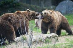 Het bruine beren vechten Royalty-vrije Stock Afbeeldingen