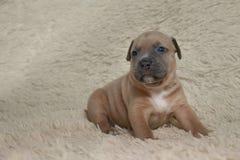Het bruine de terriër van puppy Amerikaanse stafford stellen Stock Foto's