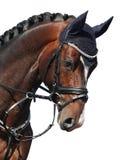 Het bruine die portret van het sportpaard op wit wordt geïsoleerd Stock Afbeelding