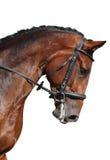 Het bruine die portret van het sportpaard op wit wordt geïsoleerd Royalty-vrije Stock Afbeelding