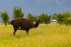 Het bruine dier van het alpacalandbouwbedrijf royalty-vrije stock fotografie