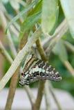 Het bruine en groene vlinder hangen van een tak Royalty-vrije Stock Foto's