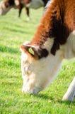 Het bruine en witte koe weiden op een gebied royalty-vrije stock afbeeldingen