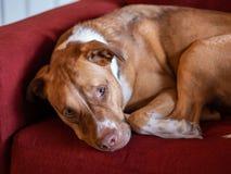 Het bruine en witte pitbullhond omhoog gekruld rusten op rode laag royalty-vrije stock foto
