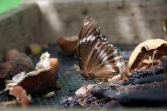 Het bruine en witte vlinder voeden op oude fruit en zaden royalty-vrije stock foto's