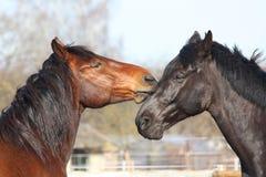 Het bruine en zwarte paarden spelen Stock Fotografie