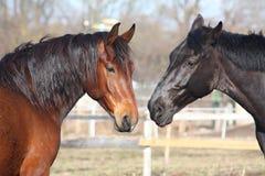 Het bruine en zwarte paarden spelen Royalty-vrije Stock Afbeeldingen