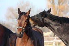 Het bruine en zwarte paarden spelen Royalty-vrije Stock Afbeelding