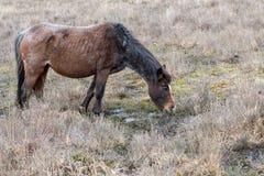 Het bruine grijze oude lont slechte wild paard eet droge graspa in reserve Stock Foto