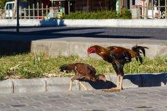 Het bruine hanen eten Royalty-vrije Stock Foto's