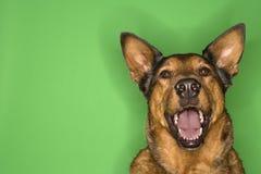 Het bruine hond glimlachen. Royalty-vrije Stock Afbeeldingen