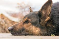 Het bruine hond liggen ontspannen op de vloer stock afbeeldingen