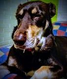 Het bruine hond rusten Stock Foto's