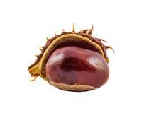 Het bruine kastanjefruit, sluit omhoog Stock Afbeelding