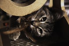 Het bruine katje spelen Stock Afbeelding