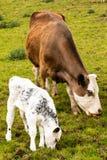 Het bruine koe en kalfs weiden op een gebied stock fotografie