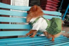 Het bruine leuke huisdier Pom Pom van hondthailand Stock Fotografie