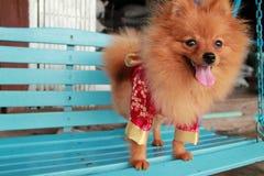 Het bruine leuke huisdier Pom Pom van hondthailand Stock Afbeeldingen