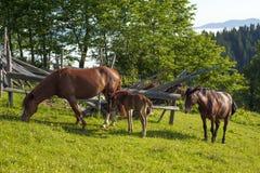 Het bruine merrie en veulen weiden samen in een weiland in de Karpaten in de zomer royalty-vrije stock afbeeldingen
