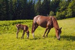 Het bruine merrie en veulen weiden samen in een weiland in de Karpaten in de zomer royalty-vrije stock fotografie