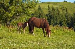 Het bruine merrie en veulen weiden samen in een weiland in de Karpaten in de zomer stock foto
