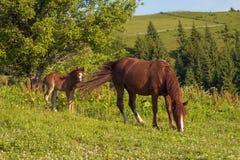 Het bruine merrie en veulen weiden samen in een weiland in de Karpaten in de zomer stock foto's