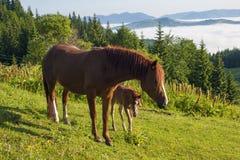 Het bruine merrie en veulen weiden samen in een weiland in de Karpaten in de zomer stock afbeelding