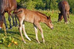 Het bruine merrie en veulen weiden samen in een weiland in de Karpaten in de zomer royalty-vrije stock foto's