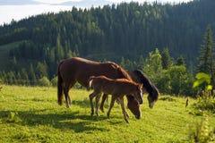 Het bruine merrie en veulen weiden samen in een weiland in de Karpaten in de zomer royalty-vrije stock afbeelding