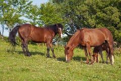 Het bruine merrie en veulen weiden samen in een weiland in de Karpaten in de zomer stock afbeeldingen