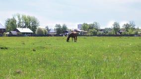 Het bruine mooie paard eet vers groen gras op gebied dichtbij dorp stock video