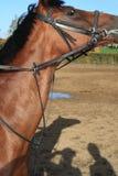 Het bruine paard Royalty-vrije Stock Afbeeldingen