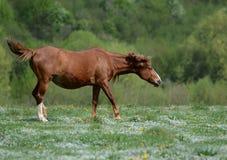 Het bruine paard danst op een groene gebloeide weide amid bossen om van het ergeren van vliegen te ontsnappen stock foto's