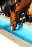 Het bruine paard drinken in een waterpyloon, Spanje stock foto's