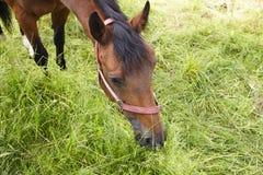 Het bruine paard eet groen gras stock fotografie