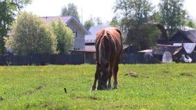 Het bruine paard eet vers groen gras op gebied dichtbij dorp bij zonnige dag stock videobeelden