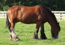 Het bruine paard eten Royalty-vrije Stock Afbeeldingen