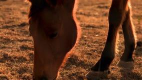 Het bruine paard eten backlit bij zonsondergang op een landbouwbedrijf tijdens dicht geschotene droogte Droogte in Australië stock videobeelden