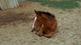 Het bruine paard ligt op het zand stock videobeelden