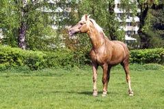 Het bruine paard lopen stock fotografie