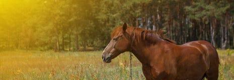 Het bruine paard, portret, hoofd, sluit omhoog, de zomer in de bossen stock fotografie