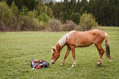 Het bruine paard is snuifje de toeristenrugzak in het hout Stock Fotografie