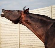 Het bruine paard snuiven stock afbeeldingen