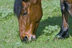 Het bruine paard voeden Stock Fotografie