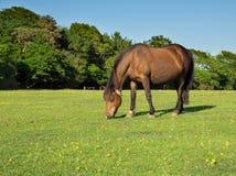 Het bruine Paard Weiden Royalty-vrije Stock Fotografie